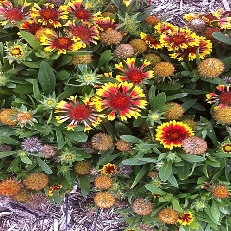 onlineplantcenter 1 gal arizona sun blanket flower plant