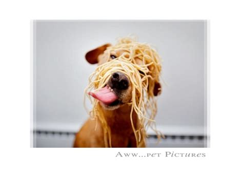 can dogs eat spaghetti dogs spaghetti breeds picture