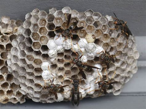Bees That Make Paper Nests - wasps naturally curious with