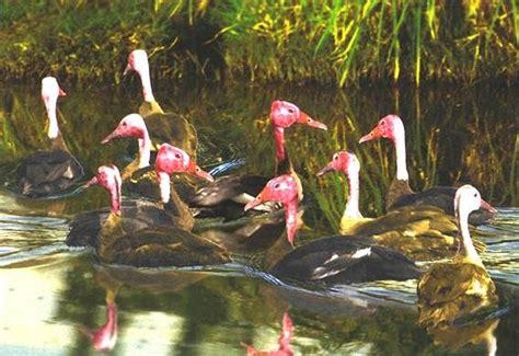 Bantal Menyusui Duck Biru Duck Pink harteman wildfowl pink headed duck rhodonessa caryophyllacea
