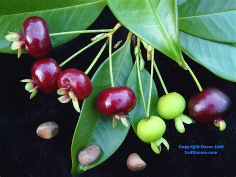 Tastes Like A Cherry cherry tastes like a cherry http www cherryros natures