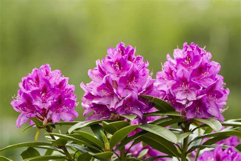 Schneiden Rhododendron by Bildquelle 169 Tab62