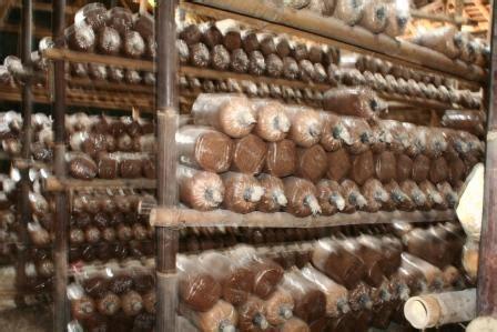 Bibit Jamur Tiram Yogyakarta jamur kuping pusat bibit buah salak pondoh yogyakarta