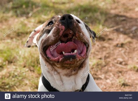 how to your to be vicious dangerous dogs act pit bull terrier staffordshire bull vicious stock photo