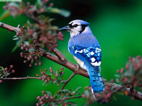 stars animals wallpapers photos blue jay bird cute wallpapers photo gallery