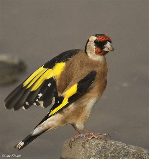 15 best images about goldfinch on pinterest wings