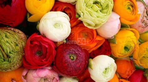 fiori anemoni foto sanremo un trionfo di ranuncoli e anemoni per il mercato