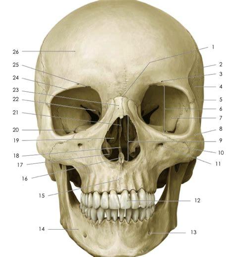 skull anatomy anterior skull anatomy quiz by erimae forensic anatomy references