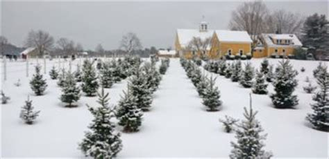 maine christmas tree association maine christmas trees