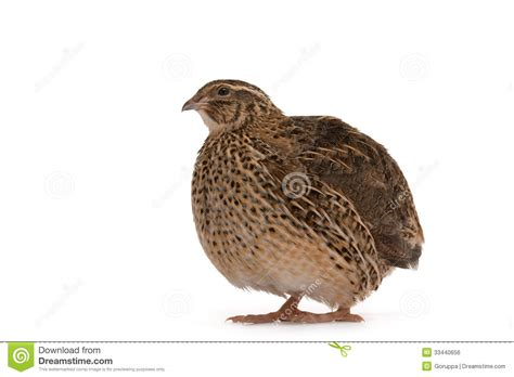 japanese quail royalty free stock image image 33440656