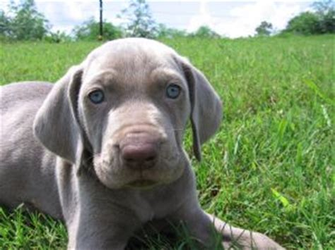 weimaraner puppies for sale in nc havencrest gundogs weimaraners akc 370 62