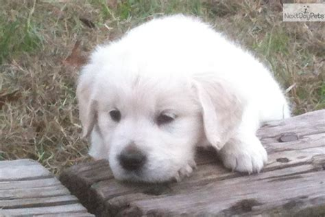 golden retriever breeders tx golden retriever breeder puppies available in design bild