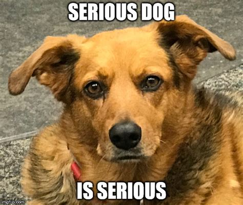 Serious Dog Meme - serious dog is serious imgflip
