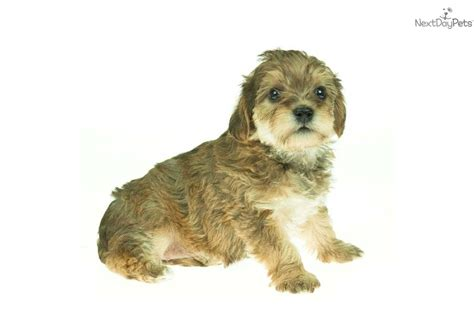 free puppies fort wayne indiana yorkiepoo yorkie poo for sale for 395 near fort wayne indiana b6035005 d0b1