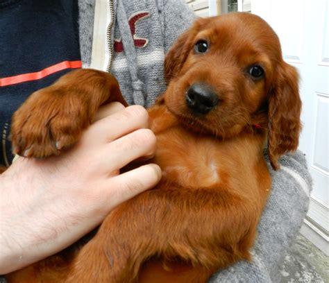 irish setter dog clothing 655 best irish setters images on pinterest