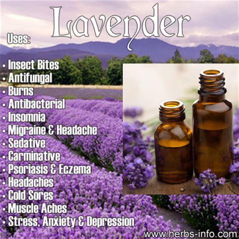 lavender essential oil herbs info