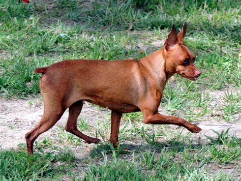 min pin puppies for sale the happy woofer miniature pinscher delaware breeder puppies for sale