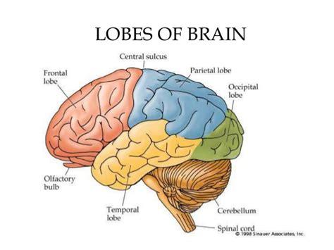 brain lobes diagram diagram of the brain lobes 28 images dear nurses the
