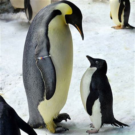 what color are penguins penguins physical characteristics