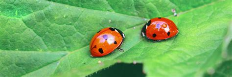 where to find ladybugs in your backyard all about ladybugs beneficial nematodes gill landscape