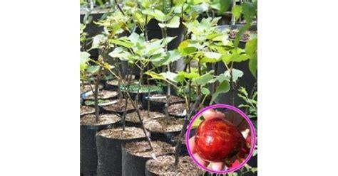 Pupuk Kalsium Semprot jual tanaman buah ara tin masui dauphine hp 085608566034