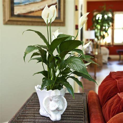 Vas Bunga One Pieces By Kjperabot aglaonema crispum the easiest indoor plants to grow in