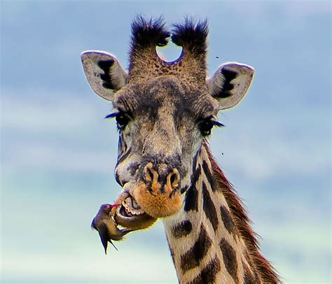 Spring Cleaning by Giraffe Becomes Dental Patient Of Bird Dentist In