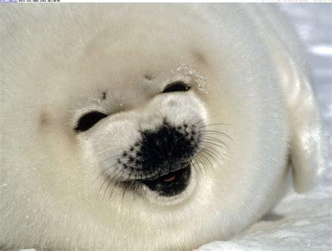 baby seal pup seals sounds baby seal screams strange sounds