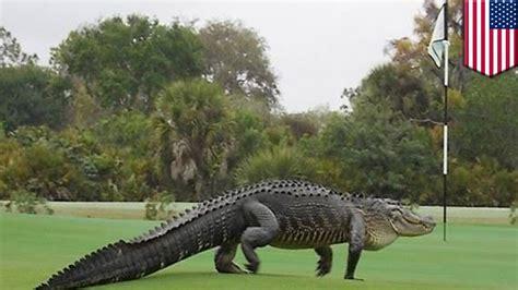 Florida gators: giant dinosaur-looking alligator strolled ... Giant Alligator Dinosaur