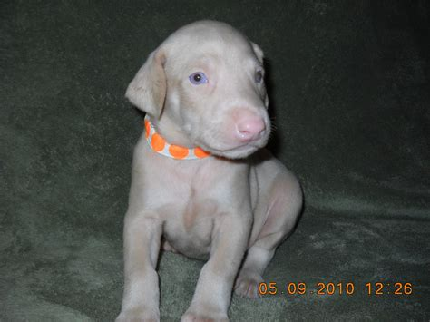 white doberman pinscher puppies white doberman pinscher puppies www imgkid the image kid has it
