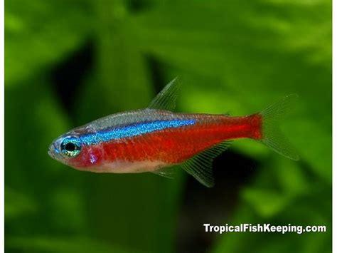 Ikan Rednose Untuk Aquarium Dan Aquascape king fish aquarium ikan ikan untuk aquascape