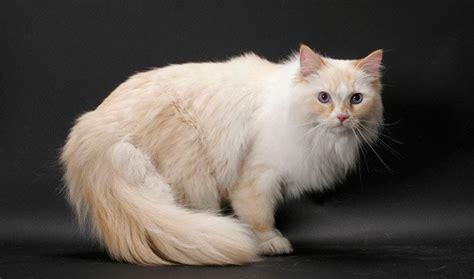 Sho Kucing House Of Anju gatos ragamuffin mundogatos