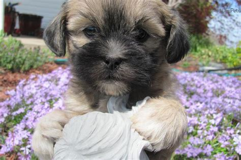 pug x lhasa apso puppies for sale akc lhasa apso puppies for sale breeds picture