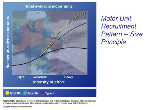 pattern of motor unit recruitment ppt blood lactate accumulation and removal powerpoint