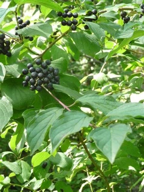 Arbuste Baies Noires by Identifie Cornus Sanguinea Arbuste 224 Baies Noires