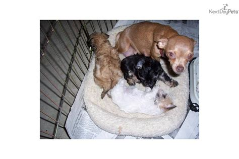 chihuahua puppies for sale in ohio cleveland chorkie chihuahau x yorkie pittsburgh cleveland chi poo chipoo puppy for sale near