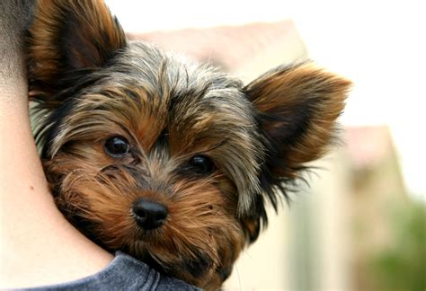 teacup yorkie problems teacup yorkie for sale with price and links for adoption