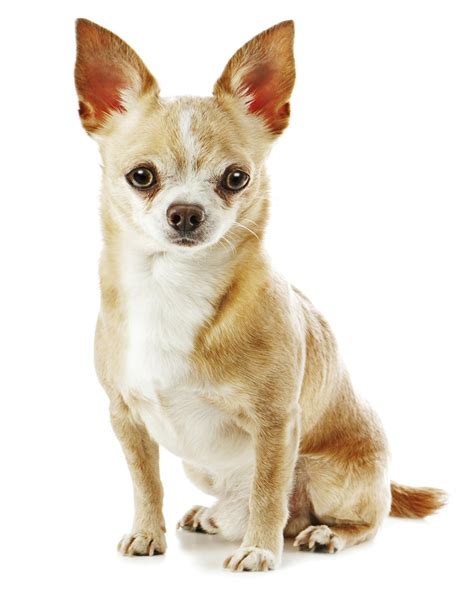 chihuahua pictures mind blowing facts about the boston terrier chihuahua mix