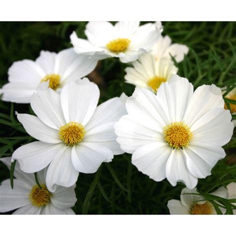 Biji Benih Bunga Cosmos Casanova bibit bunga cosmos purity