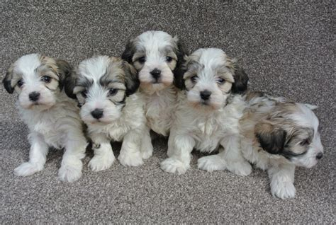 maltipoo puppies florida maltipoo puppies for sale east state boulevard fl 199678