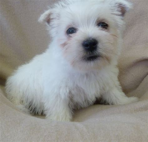 westie puppies for sale west highland terrier puppies for sale west pets4homes