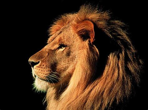 film with a black lion beautiful animals safaris amazing lions big cats africa