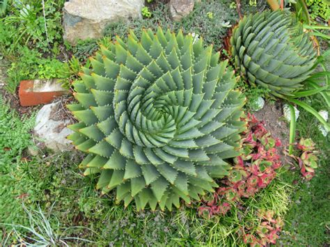 succulents plants aloe polyphylla spiral aloe world of succulents