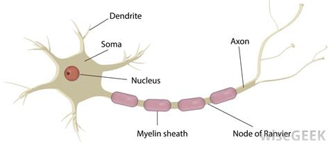 nerve cell diagram image gallery soma cell