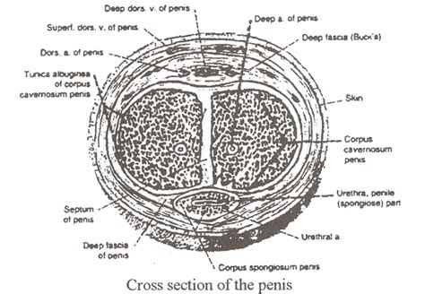 cross section penis erectile dysfunction and male infertility