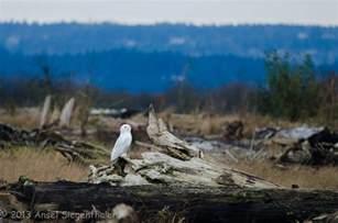 panoramio photo of shoreline predator habitat snowy owl