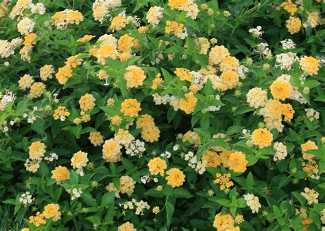 lantana colors lantana makes a big impact in the summer mississippi