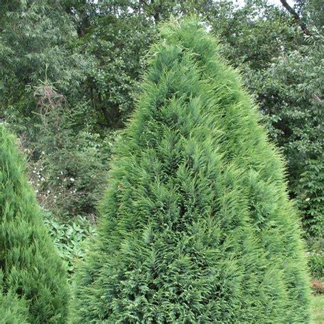 chamaecyparis lawsoniana pottenii lawsons cypress pottenii conifer