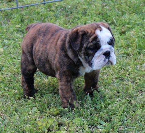Show Me Pictures Of Bulldogs