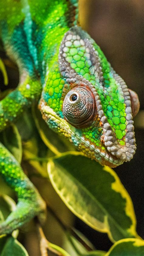 chameleon green color camouflage reptile wallpaper